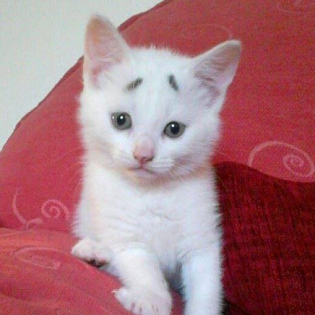 Concerned Kitten with permanent surprise eyebrows