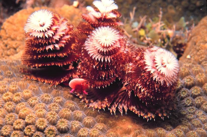 Christmas Tree Worm Beautiful Christmas Trees National Marine Sanctuary Christmas Tree