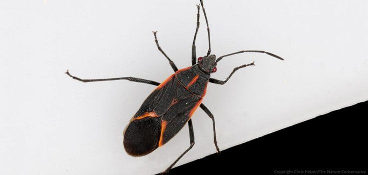 How And Why You Should Prevent A Kissing Bug Infestation Bugs
