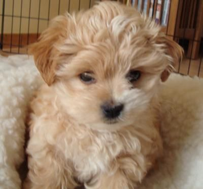 Morkie Puppies Morkie Puppies Cute Animals Morkie Puppies For Sale