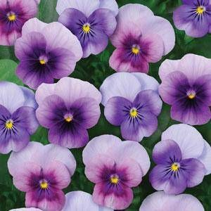Violet Sorbet Beaconberry Viola State Flower Of Rhode Island
