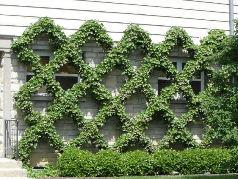 Grown Out Manicured Vine On Wire Wall Trellis The End