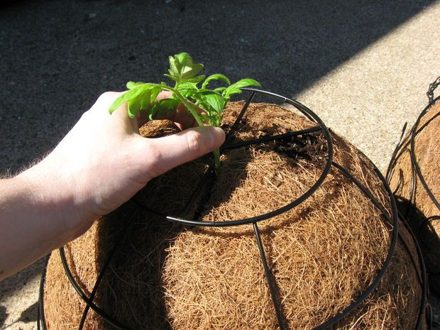 How To Plant Hanging Upsidedown Tomatoes Growing Tomato 400 x 300