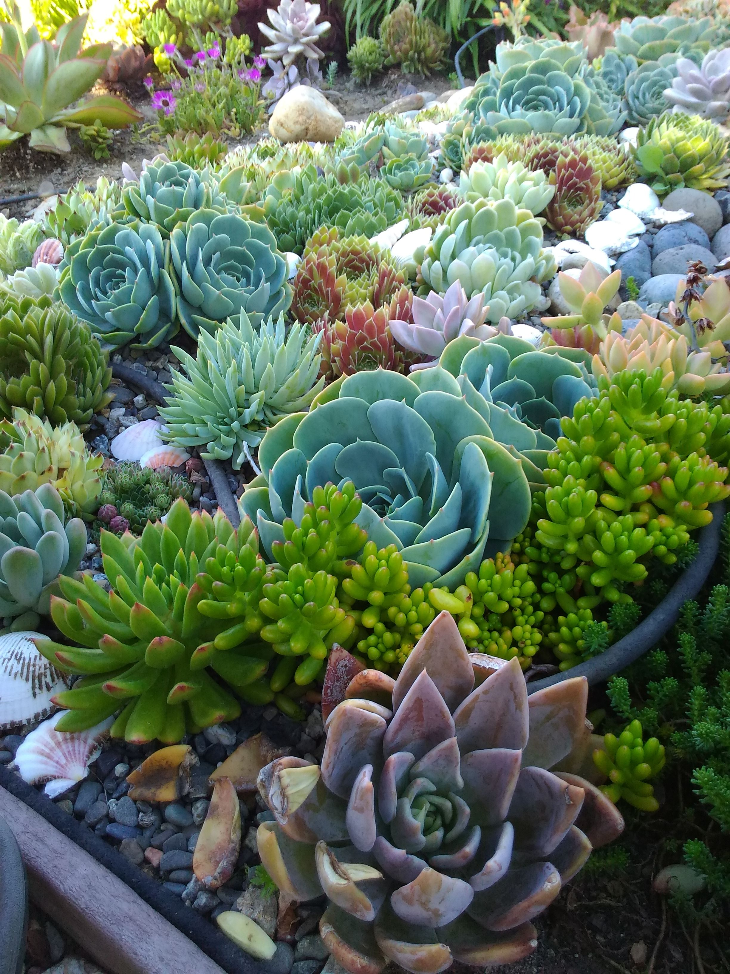 Add Some Sea Shells To Your Succulents For Some Added Interest It Really Makes The Colors Stand Out On Th Succulent Rock Garden Creative Gardening Succulents
