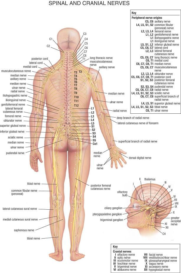 Detailed View Of The Major Nerves In Your Body Whats Next