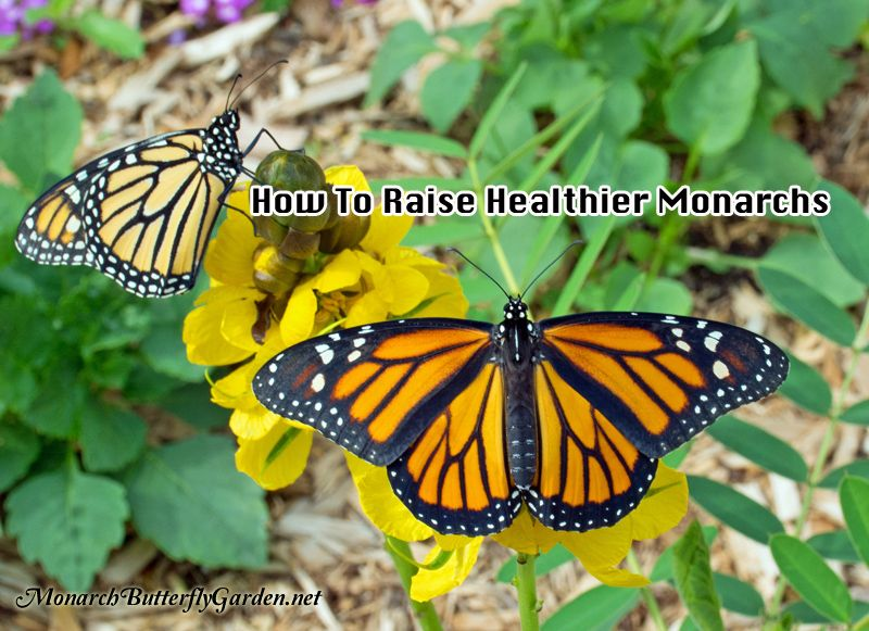 There are a variety of monarch diseases and health issues that can cut your adventure short raising monarch butterflies. Prevention is the key to success.
