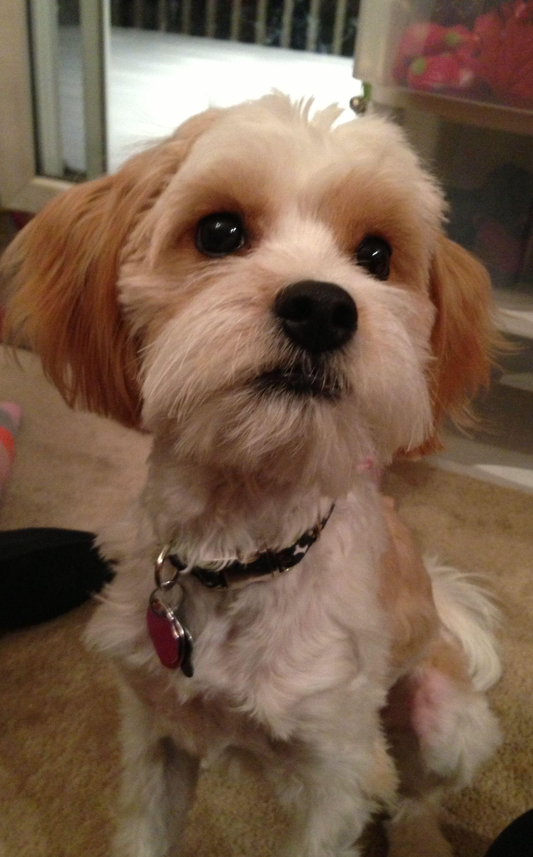 Cavamaltipoo Puppy Cavalier King Charles Spaniel Maltese