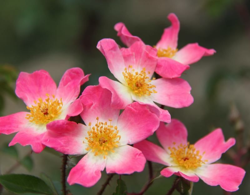 New face open rose shrub and flowers star shaped flowers open rose pink fading as the flower ages the white eye shows bright yellow stamens new face has large clusters of fragrant small mightylinksfo