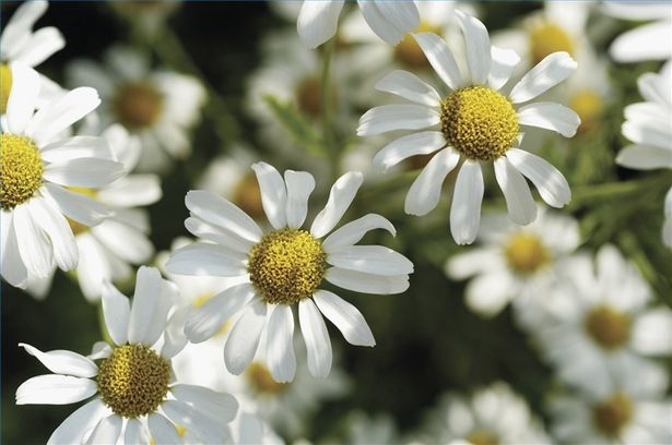 How To Use Chamomile For Lightening Hair Chamomile Plant How To Lighten Hair Chamomile Flowers