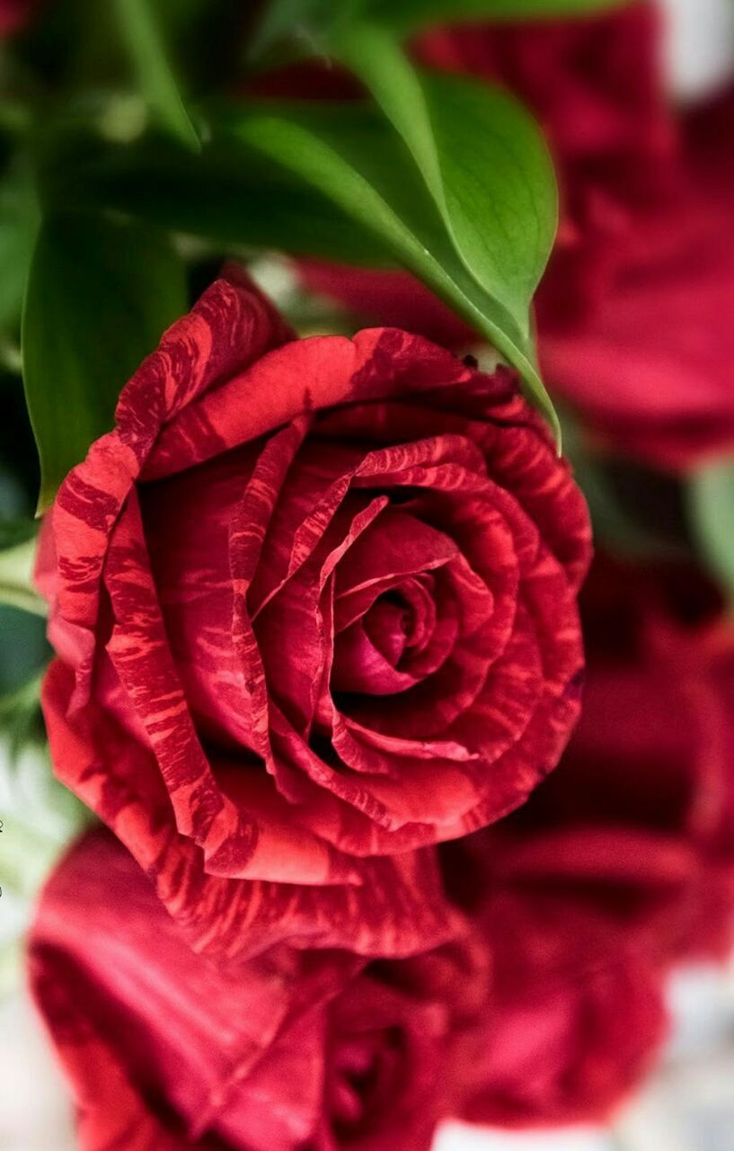 Pin By Lucrecia Sanabria Arenales On Rosas Pinterest Flowers
