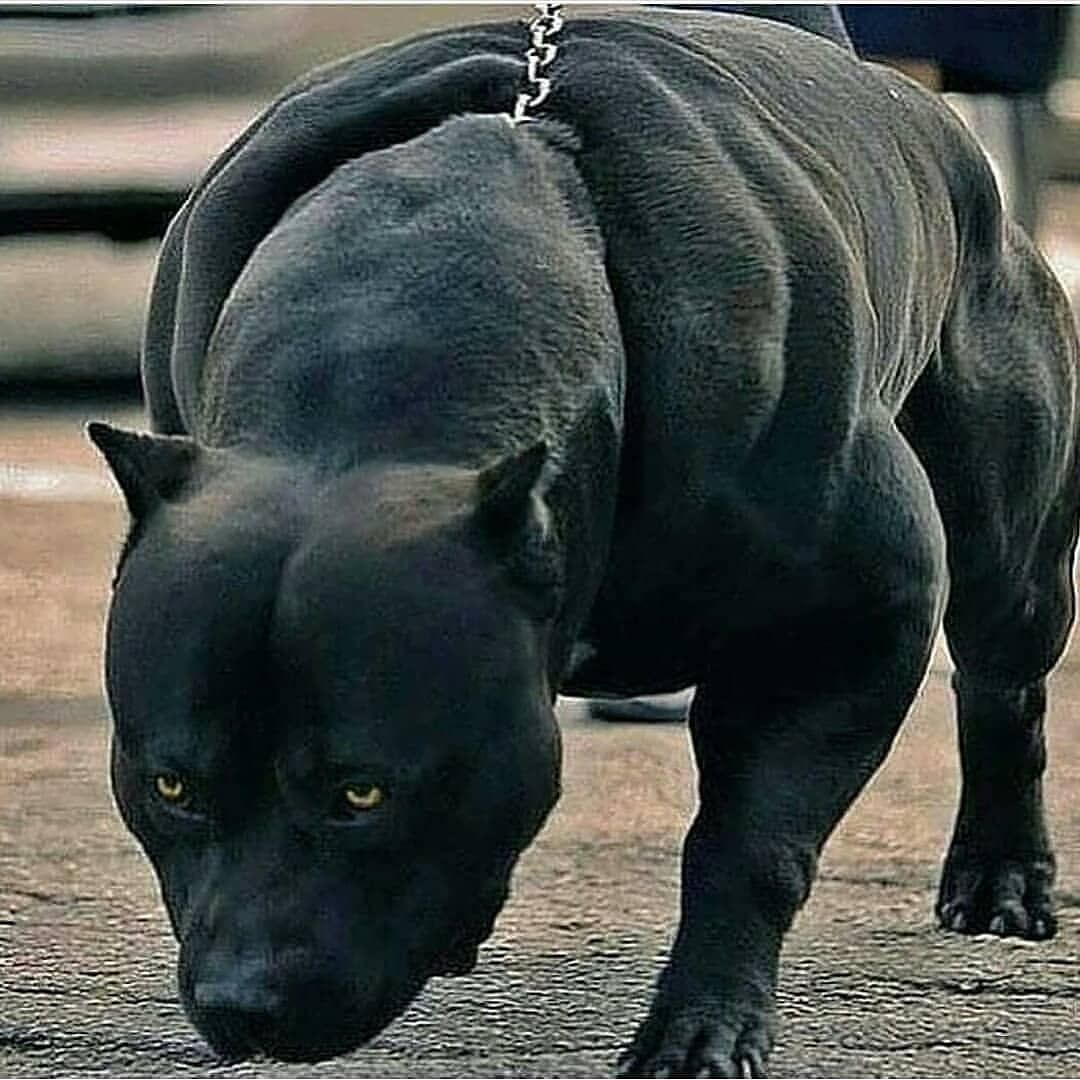 Instagram Bodybuilding Fitness On Instagram Give Him A Name Aesthetic Revolution Workout Training Big Dog Breeds Scary Dogs Pitbull Dog Breed