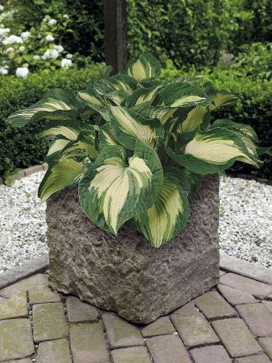 Hosta sieboldiana 'Golden Meadows'