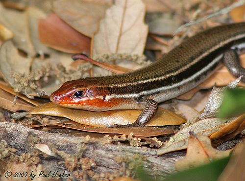 Southeastern Five-lined Skink (Eumeces inexpectatus)