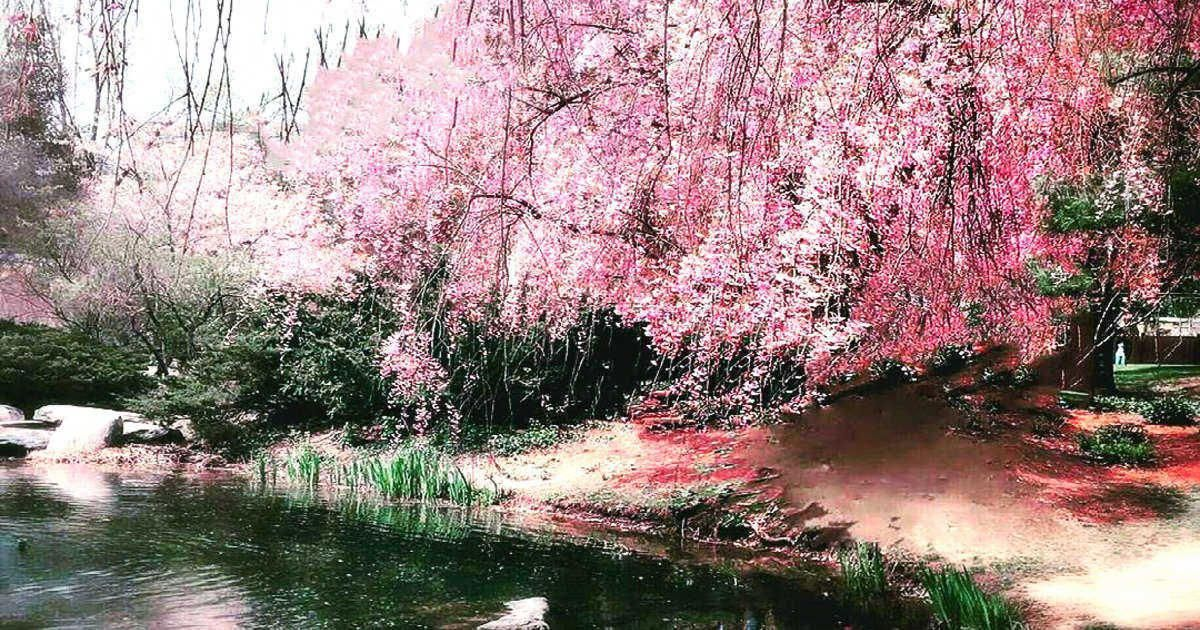 This Japanese Garden In Ontario Has Weeping Cherry Blossoms That Will Take Your Breath Away Nar Japanese Garden Japanese Garden Plants Japanese Garden Design