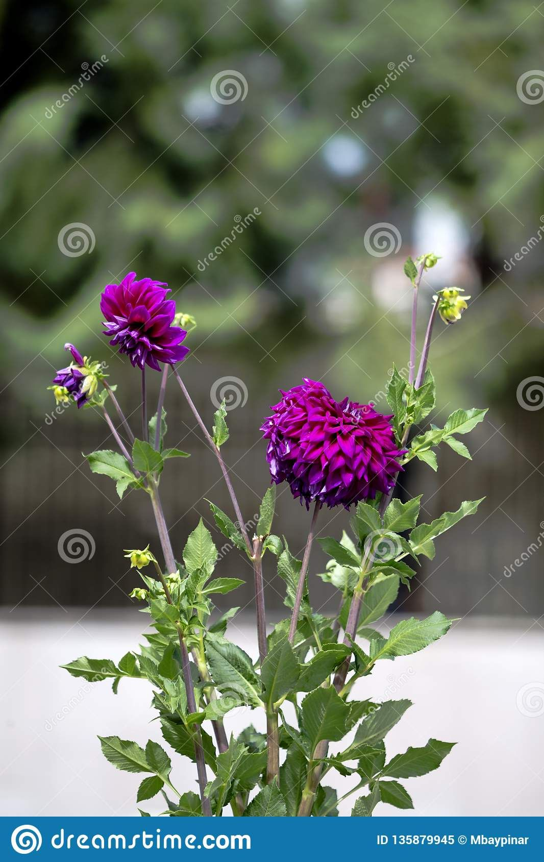 Close Up Of Vivid Purple Dahlia Flowers And Green Leaves With Nice Bokeh Photo About Leaves Bokeh Rich Sunny Daisy R Purple Dahlia Dahlia Flower Flowers