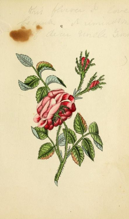 Provence or Hundred-leaved Rose (Rosa centifolia). Plate from 'The Book of Flowers' by 'A Lady.' Published 1836   by Carey, Lea, and Blanchard   archive.org