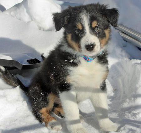 Tri Colour Border Collie Puppy Kittens And Puppies Collie