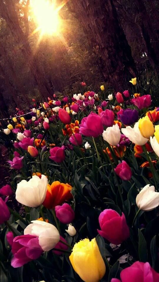 Flowers Spring Nature Wallpaper Ios11 Ios12 Lockscreen