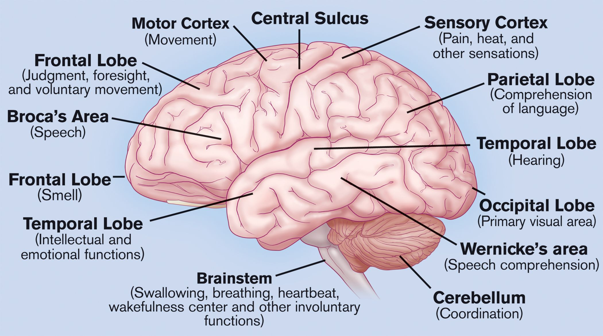 What Do The Different Parts Of Your Brain Control Well