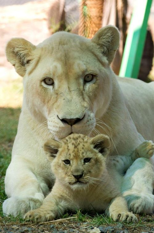 The Lion cubs one male and one female were born on August 9 have