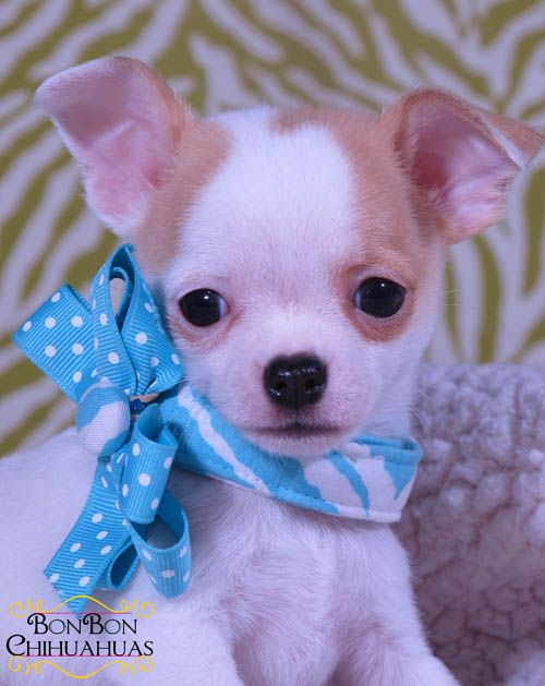 Chihuahua Puppies For Sale With Images Chihuahua Puppies Chihuahua Puppies For Sale Cute Chihuahua