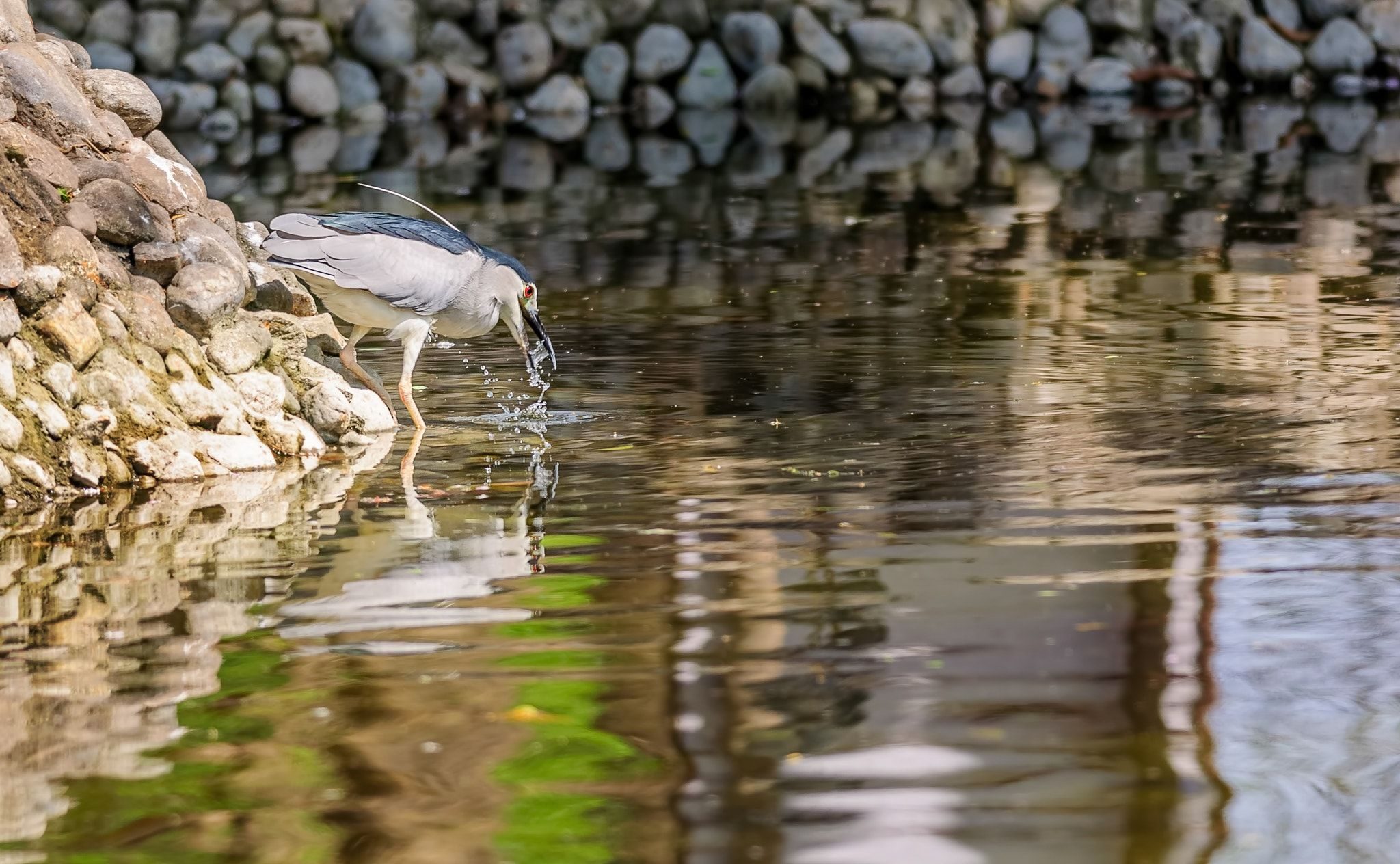 Bird, Black-crowned Night Heron trying to catch fish - Bird, Black-crowned Night Heron, Nycticorax nycticorax, trying to catch fish