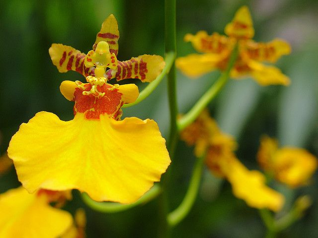 Dancing Lady Orchid Oncidium Gower Ramsey Flower Essences Orchids Oncidium