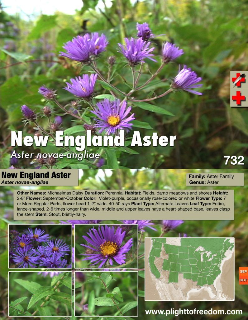 New England Aster Medicinal Plight To Freedom Medicinal Weeds New England Farm Gardens