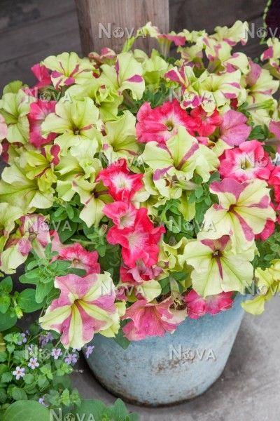 Petunia Fuseables Lime Coral Marsnova Petunias Flower Pots Beautiful Blooms