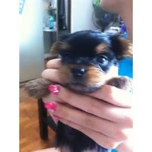 Best Quality Yorkshire Terrier Puppies For Sale Singapore 2020