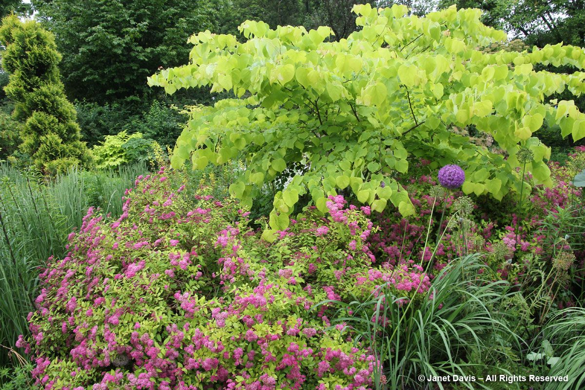 Chanticleer Cercis Hearts Of Gold Spirea Magic Carpet Spirea