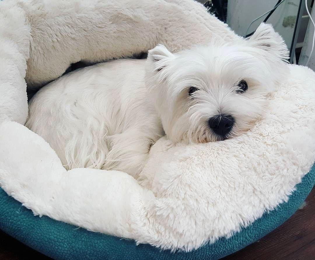 Buy Westie Puppies In Alberta Canada