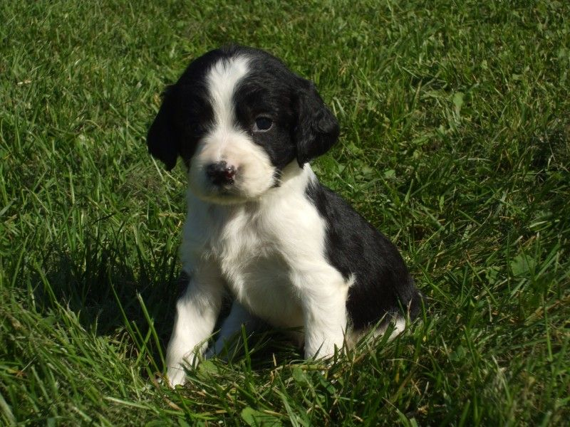 Our Guarantee Carhan Springers Family Dogs