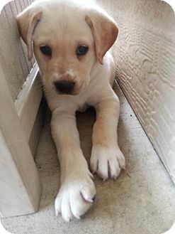 Frisco Tx Labrador Retriever Mix Meet Casper A Puppy For