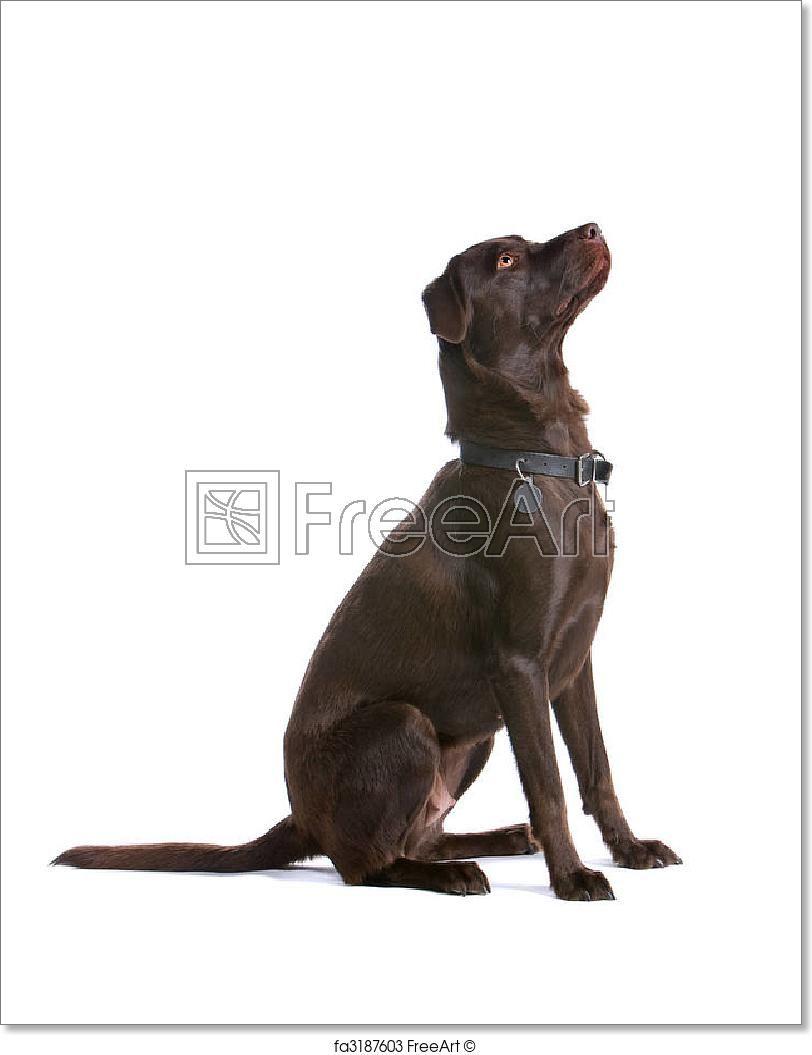 Free art print of chocolate labrador retriever dog