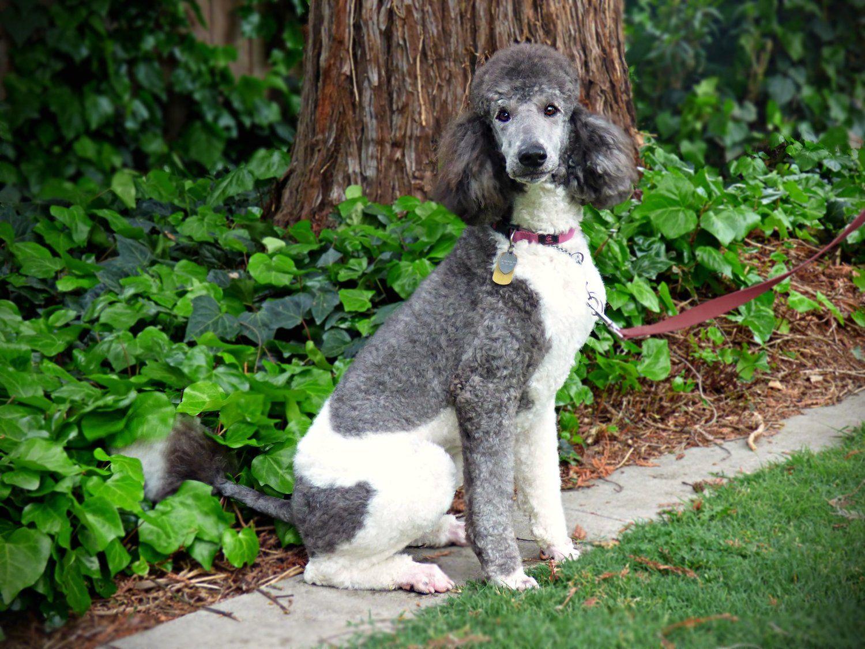 Sadie May Akc Black White Parti Poodle Standard Poodle