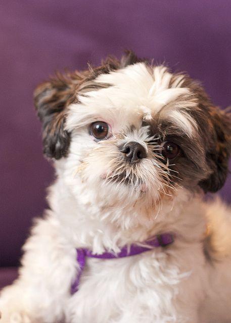 Shih Tzu With Purple Shih Tzu Shih Tzu Puppy Puppies
