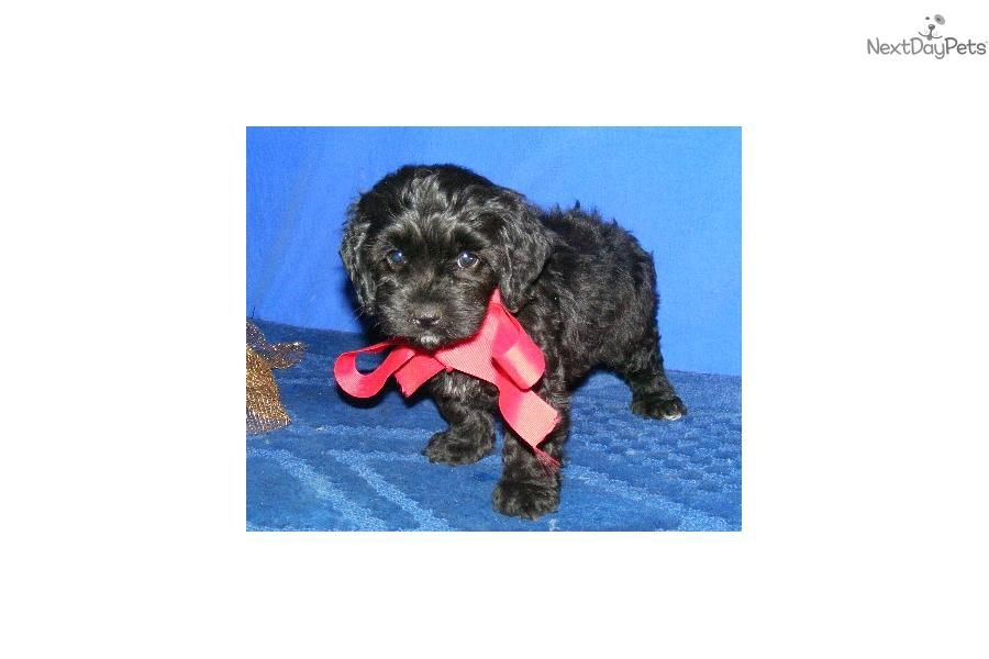 Meet mitsy a cute cockapoo puppy for sale for 350 mitsy