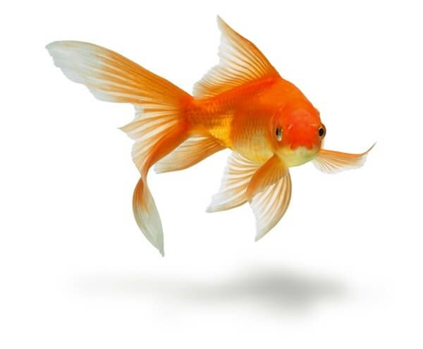 Learn how to take care of a goldfish in a bowl pond or for Fish bowl pets