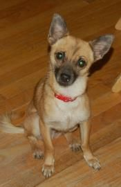 Petango Com Meet Gilligan 14029 A 2 Years 7 Months Chihuahua Short Coat Mix Available For Adoption In Colorado Springs Co Small Dog Rescue Chihuahua