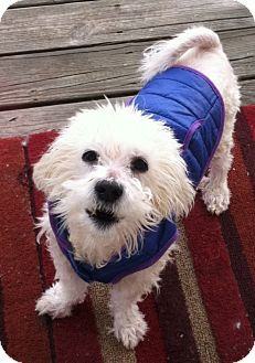 Richmond Va Maltese Dachshund Mix Meet Sonny Boy A Dog For