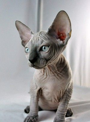 Sphynx Kitten Cute Hairless Cat Devon Rex Cats Cute Cats And Dogs