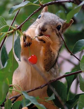 """Squirrel Eating Cherry"""" Photo By National Home Gardening Club Life"""