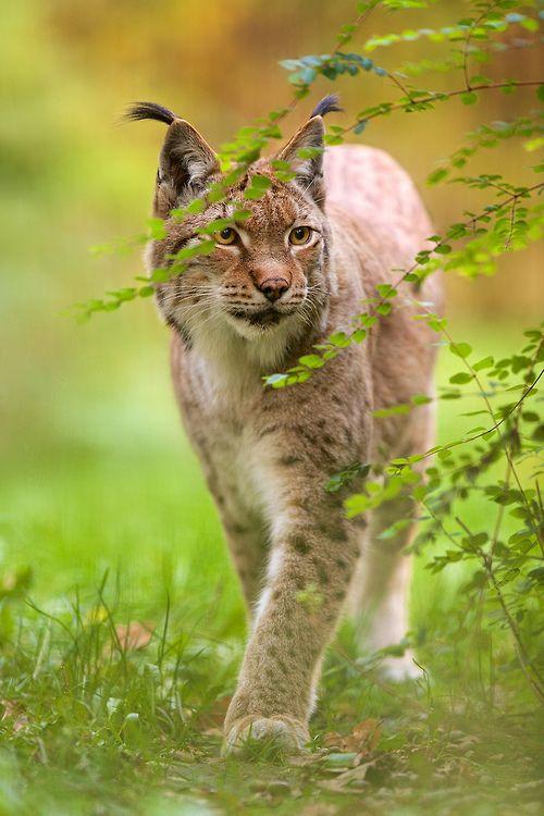 Eurasian Lynx (by generalstussner)