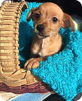 Bedminster Nj Chihuahua Yorkie Yorkshire Terrier Mix Meet Dewey A Puppy For Adoption Http Www Adoptapet Com Pet 12 Puppy Adoption Dog Adoption Puppies