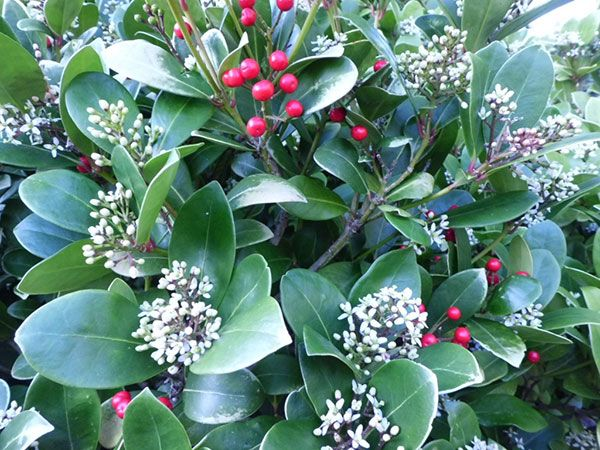 Skimmia japonica is a low evergreen shrub grows 3 h x w with skimmia japonica is a low evergreen shrub grows h x w with smooth margined leathery leaves it sports creamy white slightly fragrant flowers in upright mightylinksfo Image collections