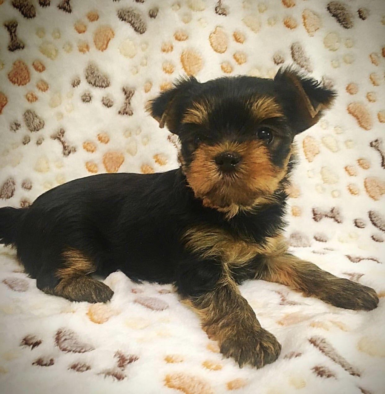 Pin By Gail Schmidt On Yorkie Yorkshire Terrier Puppies Yorkie Yorkie Puppy