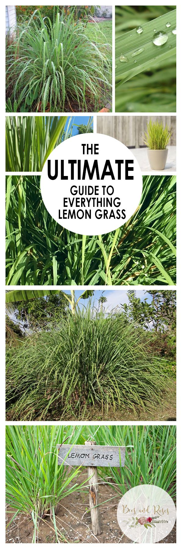 How to grow lemon grass from seed - The Ultimate Guide To Everything Lemon Grass