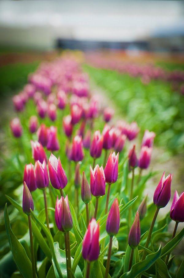 Purple Tulip Field Skagit Valley, Mount Vernon Washington