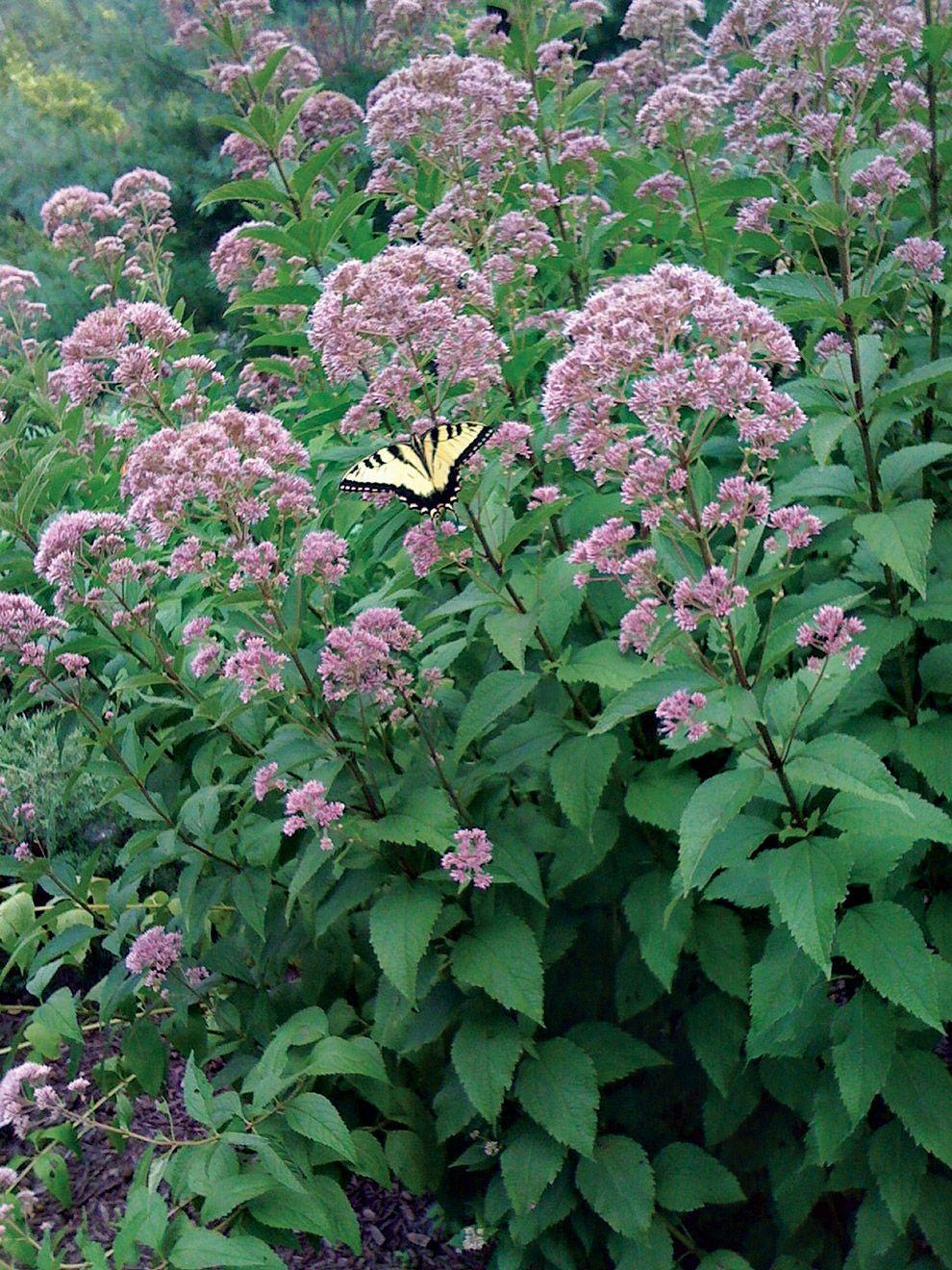 Flowers that like sun and moist soil - Prefers Moist Soil Deer Resistant Full Sun